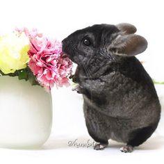 https://instagram.com/hanakote chinchillas chinchilla szynszyla szynszyle