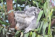 Koala、無尾熊、中央社、CNA、新聞、台灣、Taiwan  www.cna.com.tw  http://www.cna.com.tw/News/FirstNews/201205120055.aspx  http://www.cna.com.tw/newsphotolist/newsphotos-1.aspx