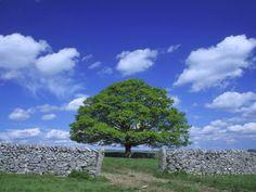 uk peak district national park | Common Oak Tree, Peak District National Park, England Photographic ...