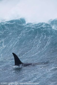 Max (M007) in big surf at Watertunnel Beach, Marion Island. Image © Chris Oosthuizen / Mammal Research Institute.