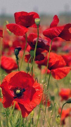 ♡ for my dearest parents ♡ çok özledim ~ Exotic Flowers, Red Flowers, Beautiful Flowers, Flower Pictures, Flower Wallpaper, Red Poppies, Pansies, Flower Art, Flower Power