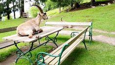 Viele Tiere im Tierpark Rosegg laufen innerhalb des Geheges frei herum. So trifft man nicht selten eine Herde Steinböcke entlang des Weges oder auch einzelne Tiere, die es sich gemütlich machen und die Wildtierpark-Besucher beobachten.   Themen: hundefreundliche Ausflugsziele, Urlaub mit Hund, Kärnten, schöne Orte, Urlaub, Reiseziele, Familienausflug, Unternehmungen mit Kindern. #kärnten #top10kärnten #carinthia #carinzia #travelaustria #austria #Österreich #ibex #capricorn #amazing #funny Animals, Road Trip Destinations, Beautiful Places, Hiking, Animaux, Animal, Animales, Animais