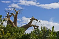 Baobab by Miguel Ángel Bernal Vega, via 500px