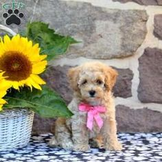 Bich-poo Puppy in East Earl, PA Free Crochet Rose Pattern, Greenfield Puppies, Mini Poodles, Bichon Frise, Puppies For Sale, Dachshund, Teddy Bear, Pets, Pennsylvania