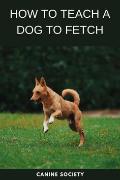How To Teach a Dog To Fetch In most people's minds, fetching and dogs have always been synonymous, yet the reality is that a lot of dogs do not fetch, or they do not fetch well. What appears to be a natural and effortless game between dog and owner is often the result of a lot of training (and sometimes frustration) on both ends. However, most dogs can be taught to fetch properly, and here are the steps to get you started. Dog Commands Training, Training Your Dog, Teach Dog To Fetch, Follow The Leader, Leadership Roles, Premium Wordpress Themes, New Puppy, Easy Workouts, Dog Owners