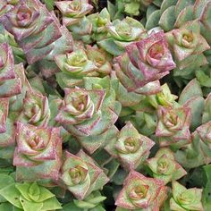 """Crassula Perforata: Attractive plant, similar to Socialis (Ring Plant) but with smaller and tighter leaves. Sometimes called """"String of Buttons"""". The leaves are pale green in color with bright rosy pink edges. The leaves grow in a spiral around the stem. Can get to 10 inches if left to grow and will form small colonies. Tender soft succulent - will not tolerate frost. Great for living wreath or wedding. $4.50"""