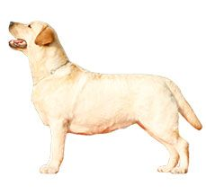 Labrador Retrievers have come to known as Lab fondly over time. http://www.dogspot.in/labrador-retriever/  It is one of the most common options for a breed around the world when you are considering keeping a pet.