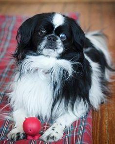 Polo is a #JapaneseChin who is approximately 8-10 years old. Polo is a very easy-going guy who loves to play fetch, go for walks and be cuddled. He gets along great with cats and dogs and loves when they will play with him. Polo is a #dog that would adapt to either apartment living or would enjoy a house with a fenced yard. He just wants a home where he will be loved and cared for and he is certain to make his new family very happy! http://www.doggielife.com/MK4JOI
