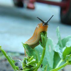 Natuurlijke manieren om slakken te weren uit je (moes-) tuin