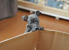 Ten / Italian Greyhounds #Italiangreyhound #dog #puppy