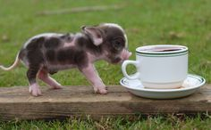 "Micro Pigs are all the rage in England and make good pets. They are intelligent, can be housebroken and live for up to 18 years. (Although birth, weighing in at a scant 9oz, thue grow to 40-60 lbs, not so ""micro"" anymore.)"