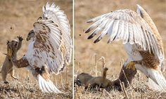 Prairie dog tries to scare off vicious hawk twice its size but fails