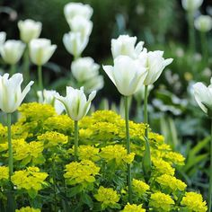 Tulip 'Spring Green' and Euphorbia polychroma