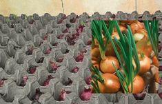 postup: Nalijte do nádoby vodu a umístěte do ní kartonové obaly na vejce. Jak nádoba může posloužit pekáč nebo plastové obaly od vajec. Sazenice cibule ošetřete v teplé vodě. Voda by měla mít teplotu zhruba 40 °C a sazenice byste v ní měli nechat asi 10 minut. Pak je vložte do kartonového obalu na vejce. … Hydroponics, Vegetable Garden, Gardening Tips, Diy Home Decor, Fruit, Vegetables, Nature, Ornamental Plants, Pallet Planter Box