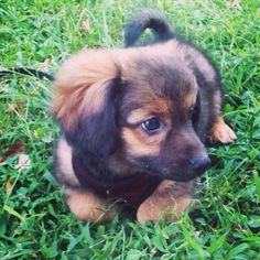 Beautiful pom/dach had first set of shots due for next set in two months. Very playful and doing good with her potty training. Loves to cuddle and kiss. Asking 200 obo rehoming fee,  I want to make sure she goes to a good home