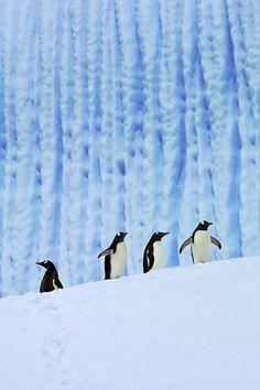 Gentoos On Ice / Antartica Beautiful Birds, Animals Beautiful, Cute Animals, Artic Animals, Penguins And Polar Bears, Gentoo Penguin, Penguin Love, Penguin Walk, Penguin Party