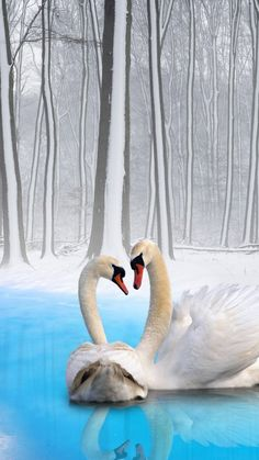 Winter romance - elegant swans