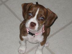 Boglen Terrier - Boston Terrier + Beagle.  - my dog just had these ! :)