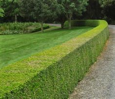 Huge range of Box (Buxus sempervirens) hedge plants. Quality Box hedging, speedy delivery & competitive prices from the industry experts. Buxus Sempervirens, Taxus Baccata, Box Hedging, Hedging Plants, Evergreen Hedge, Plant Cuttings, Garden Edging, Chelsea Flower Show, Back Gardens