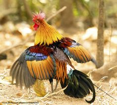 Red Junglefowl (Gallus gallus), Phu Kheao, Nam Naom, Thailand  photo by gary1844
