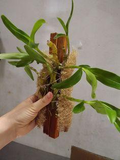 Platando Orquídea Dendrobium. Encaixe a madeira e as mudas na bucha. Passe um fio de barbante amarrando firmemente.