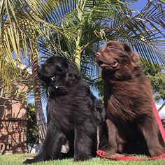 2 Giant Newfoundland Dogs Are Babysitters To 3 Boys