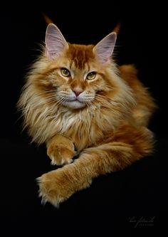 Gato parecido com o rei leão...