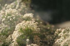 Pyracantha in flower, Home, Summer 2015