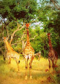 south africa.  giraffes.