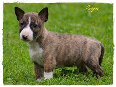 "Miniature Bull Terrier ""Dwayne 'The Rock' Johnson"" from Winter's Delight Kennel, Germany"