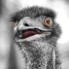 Australian Emu - a very large flightless bird. - Emus sleep for only 20 minutes at a time.