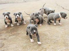 ❤️Pittie puppies!! ❤️