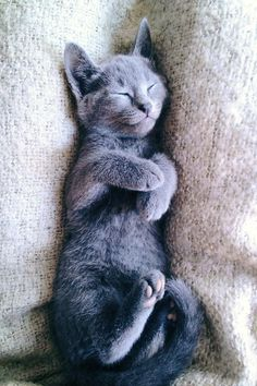 Are Russian Blue Cats Hypoallergenic | Pictures and Wallpaper