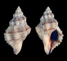 Family Muricidae  Urosalpinx perrugata (Conrad, 1846)  Gulf oyster drill