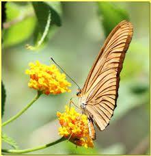 Afbeeldingsresultaat voor butterfly vlinder