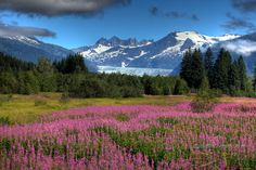 Get back to Alaska but this time with my family and show them how amazing it is to stand in this field of flowers and see the awesome blue of the Mendenhall Glacier and the white snow capped mountains all in the same scene.