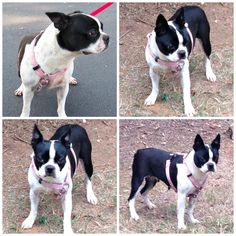 This is Ready. She's available for adoption. Visit www.btrnc.org for more information. #bostonterrier #rescue #northcarolina