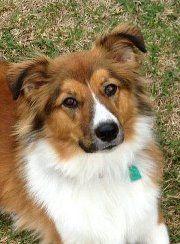 My puppy Callie, an English Shepherd, born 01/11/11.