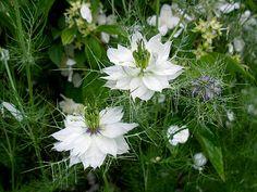 fleur-de-nigelle-blanches se plaît en sol léger, frais ou sec, même pauvre. Elle aime le plein soleil mais tolère toutes les expositions sauf l'ombre trop dense où elle fleurit moins bien