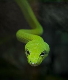 Comparisons are still made between serpents and Cadmus. Seen here is a common green snake that inspired images for the depiction of Cadmus as a serpent. Beautiful Creatures, Animals Beautiful, Cute Animals, Vine Snake, Photo Animaliere, Beautiful Snakes, Crocodiles, Wildlife Nature, Reptiles And Amphibians