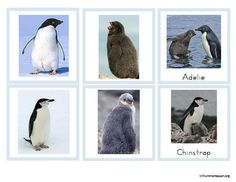 Free Antarctica Penguins and their Chicks Cards from Trillium Montessori