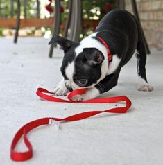 Bowser the Boston Terrier - looks like he's about to demonstrate his awesome ratting skills on a leash.