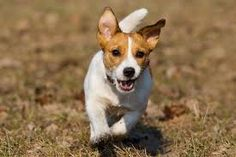 jack Russell's- My little boy runs so fast he sounds like a horse.