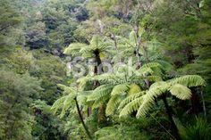 Native Bush Background, New Zealand Royalty Free Stock Photo Pool Dance, Tree Fern, Kiwiana, Image Now, Ferns, New Zealand, Lush, Nativity, National Parks