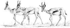 Springbok: Wildlife Art and Illustration Art And Illustration, Wildlife Art, Book Making, South Africa, Screen Printing, Moose Art, Skull, Artist, Colouring