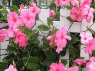 Looking for a fast-growing vine to decorate your garden arbor or garden fence? Consider mandevilla and its lovely flowers in pink, yellow, white, red or dark red.