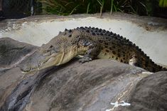 Australia, Australia Zoo Crocodile Wildlife Dangerous #australia, #australia, #zoo, #crocodile, #wildlife, #dangerous