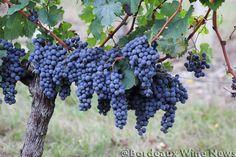 Bordeaux Harvest 2012 looking good