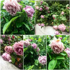 These #lavendarroses in #StokeNewington are fully grown. #Beautiful, #fragrant #blooms that are a joy to walk by on my way to the gym! #awesome #bloom #blossoms #flowers #london #northlondon #primavera #printemps #rosa #roses #spring #springtime