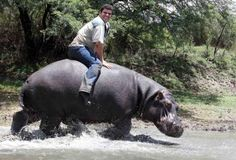 """Hippopotamus Humphrey was """"like a son"""" to South African farmer Marius Els. The man raised his pet from the age of 5 months. Marius used to """"ride"""" his 1,200 kg hippo's back in the past. And now Mr. Els is gone.     It's not that safe to have a relationship with the most dangerous animal in Africa. Marius was gouged by his 6-year-old pet to death. The animal repeatedly bit his owner in a fierce attack. The 41-year-old man's mutilated body submerged in a river."""